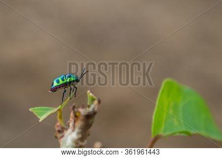 Litchi Bug ,chrysocoris Stollii ,this Photo Take In The Wild