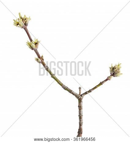 Ash Tree (fraxinus Sp.) Twig With Flower Buds Ready To Bloom In Spring Isolated On White Background