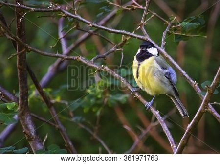 Great Tit, Parus Major, Standing On A Small Branch