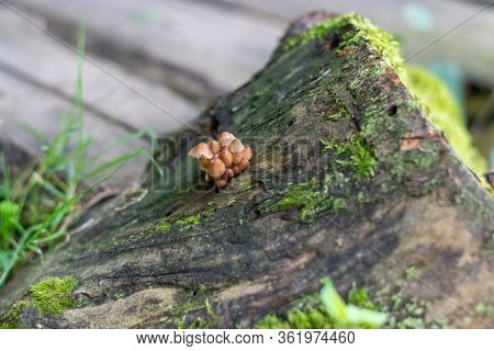 Closeup Of Small Group Of Brown Mushrooms On Wet Forest Log Against Bokeh Background