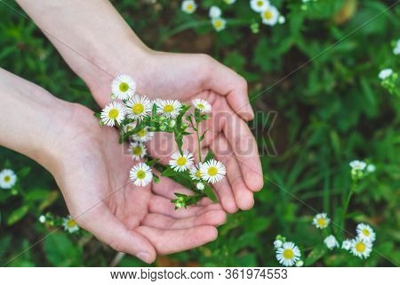 Two Young Female Hands Holding Bunch Of White And Yellow Wild Chamomile Flowers Against Green Bokeh
