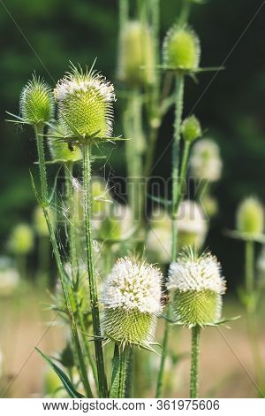 Bouquet Of Wild Mountain Thorny Burdock Flower Heads Laced With Spider Web Against Blury Bokeh Meado