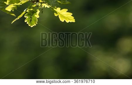 Fresh Bright Oak Leaf, Spring Sprout In The Woods. Green, Bright, Vibrant Background.
