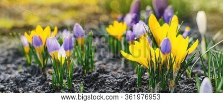 Spring Bright Background With Blooming Purple, Lilac, Yellow Crocus Flowers In Early Spring. Crocus
