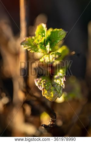 Close Up View Of A Bud On A Grape Vine (vitis Vinifera) In The Garden. Inflorescence Of Grapes On Th