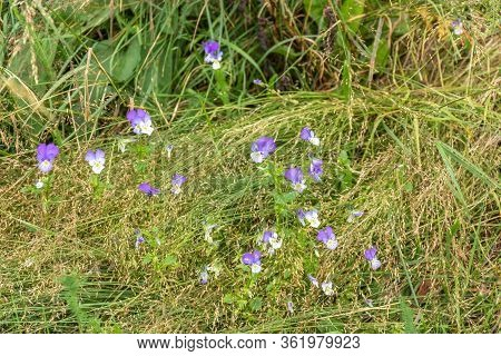 Group Of Small Spring Violets Covered With Thick Lush Grass Stems On Spring Mountain Meadow