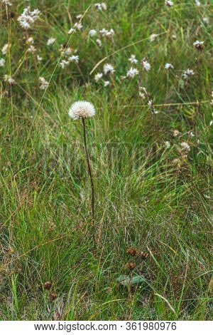 White Fluffy Dandelion Against Bokeh Mountain Field Covered With Thick Grass And Small White Flowery