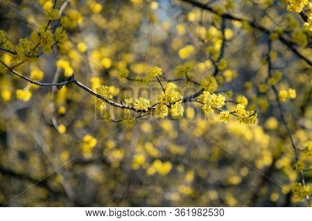 Close Up Of Cornus Mas, The Cornelian Cherry, European Cornel Or Cornelian Cherry Dogwood On Blurry