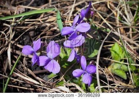 Viola Odorata. Scent-scented. Violet Flower Forest Blooming In Spring. The First Spring Flower, Purp