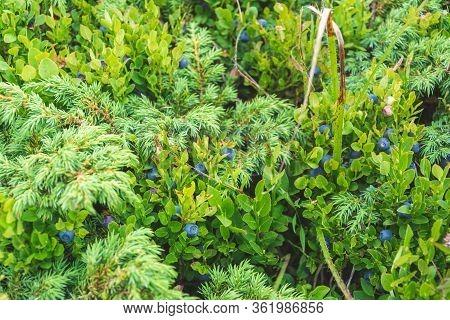 Closeup Of Green Wild Blueberry Shrub Background