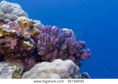 coral reef with violet hard coral in red sea in egypt poster