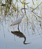 Little egret wild bird wading through reeds in shallow water of river poster