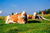 Herd of cows grazing on meadow. Photo taken in Graz Austria poster