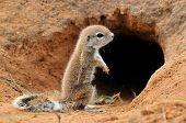 Cape Ground Squirrel (Xerus Inauris). Photo taken at Mata Mata in the Kgalagadi Transfrontier Park South Africa poster