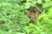 a baby deer or fawn hiding in the bushes poster