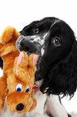 young english springer spaniel playing with a toy isolated on white poster