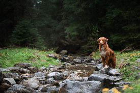 Hiking With A Dog. The Pet Is Sitting By The Stream, By The River. Nova Scotia Duck Tolling Retrieve
