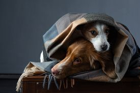 Two Dogs In A Scarf. Nova Scotia Duck Tolling Retriever And A Jack Russell Terrier. Pets At Home