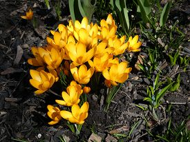 Blooming Yellow Crocuses On The Flower Bed