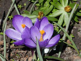 Two Violet Crocuses On The Flower Bed