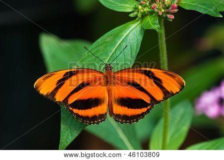 Banded Orange butterfly (Dryadula phaetusa)