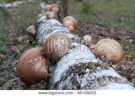 polypore mushrooms on birch stem - Shallow DOF photo