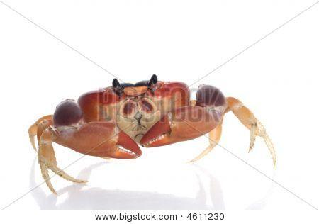 Moon Crab