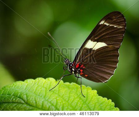 Macro image of Doris Longwing butterfly (Heliconius Doris)