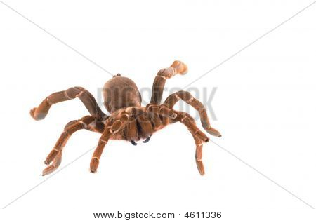 Ng Baboon Tarantula ( C. Crawshayi) Female