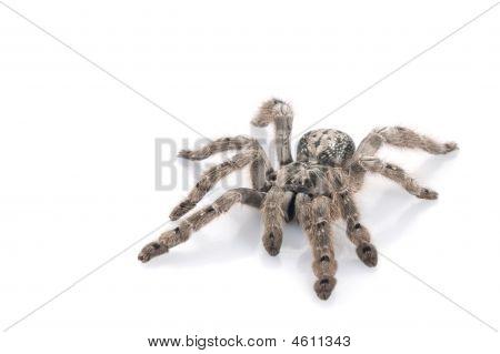 H. Maculata Tarantula