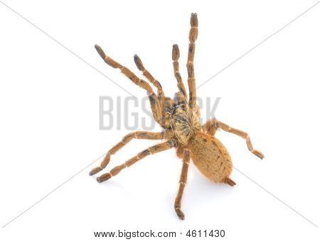Pt. Murinus Tarantula (female)