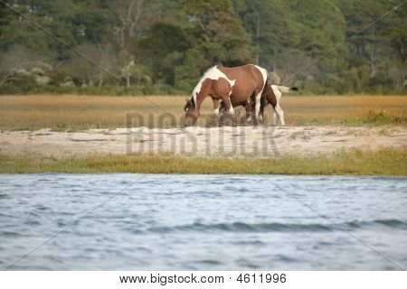 one wild pony from the Virginia herd at Assateague National Park grazing near the water edge poster