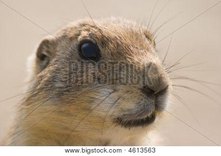 Portrait Of Prairie Dog