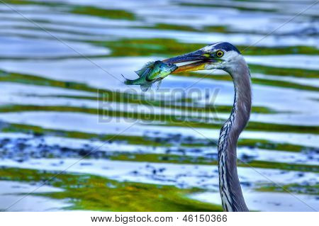 Bluegill gets Caught by a Great Blue Heron in High Dynamic Range. poster