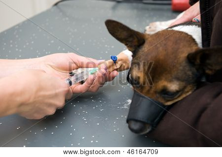 A veterinarian is injecting the leg of a dog and preparing him for surgery poster