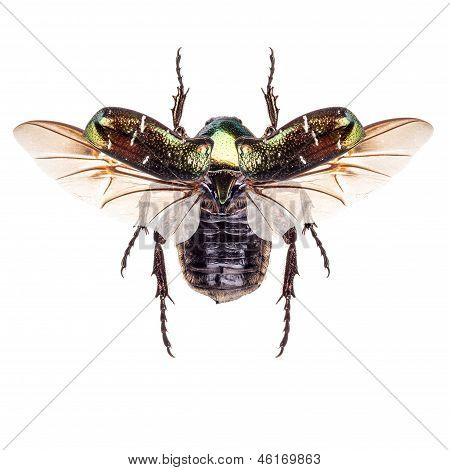 Flying insect cetonia aurata (rose chafer) isolated on a white background poster