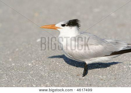 Shorebird Royal Tern