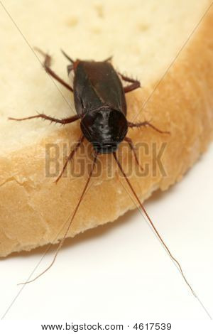 Close Up Of Cockroach On A Slice Of Bread