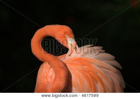 Beautiful Pink Preening Flamingo