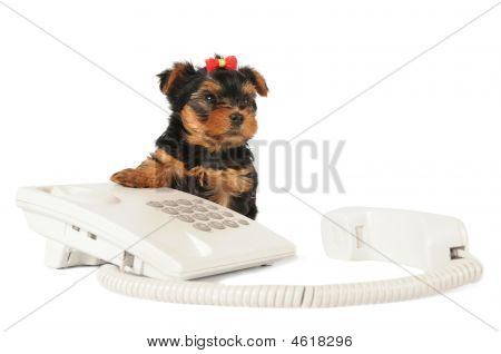 Yorkshire Puppy Sitting By The Phone