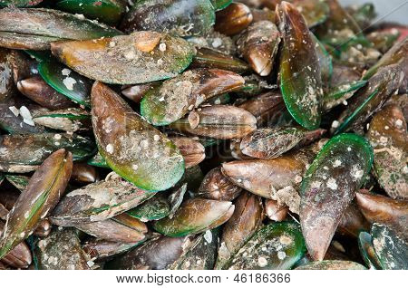 The Group Of Asian Green Mussel
