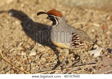 a nice colorful male gambel's (california) quail poster