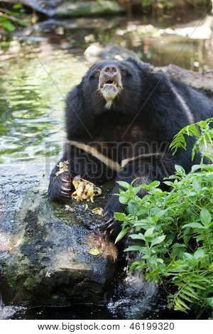 Image of asiatic black bear in zoo, Thailand poster