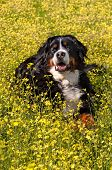 Bernese Mountain Dog portrait in flowers scenery - Vertical poster