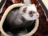 Young ferret sticking out of the house poster