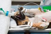 A dog in lying unconscious in a veterinarian clinic while a surgeon is sterilizing her poster