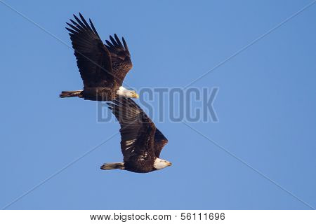 Two American Bald Eagles In Flight