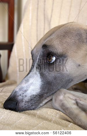 Face Of Mischievious Whippet Caught Lying On Furniture