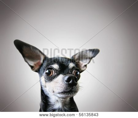 a cute chihuahua on a gray background