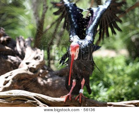 northern bald ibis (geronticus eremita)  has undergone a long-term decline over the centuries and is today critically endangered poster